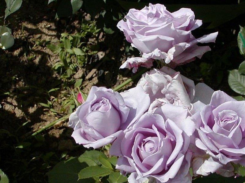 Сорт чайно-гибридных роз «Блю Мунна фото