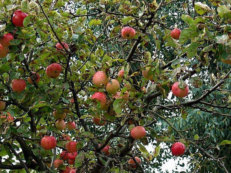 """Яблоня сорт """"Ренет бергамотный"""" на фото"""
