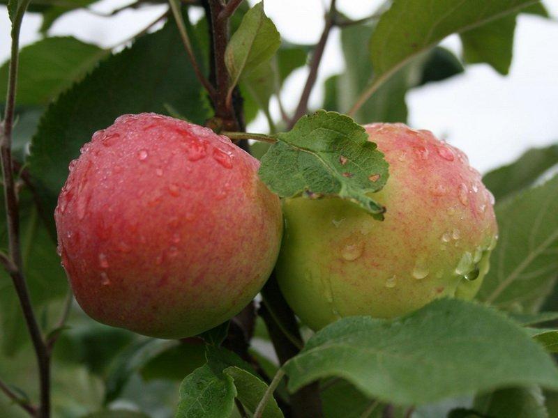 """Плод яблони """"Ренет бергамотный"""" на фото"""