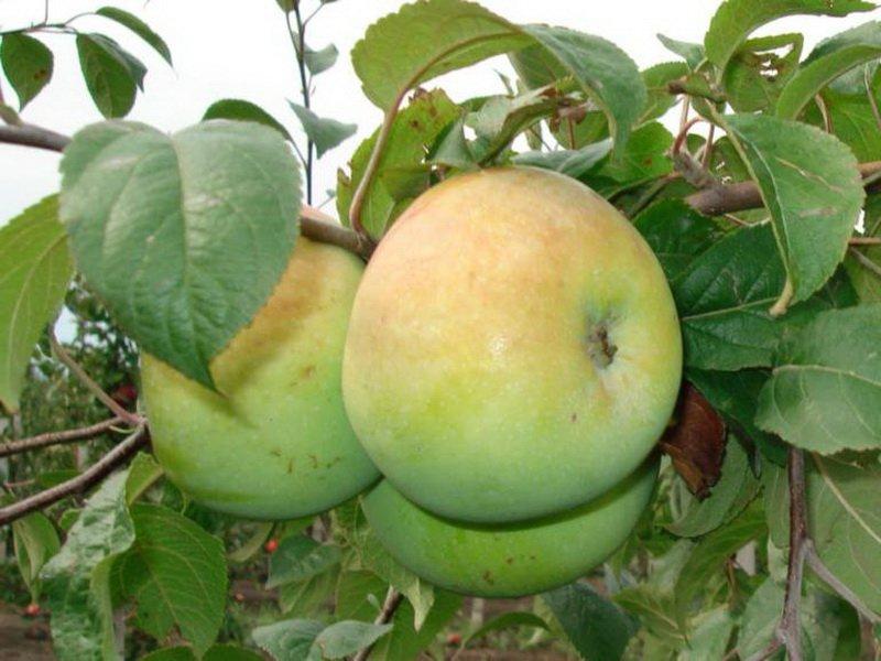 """Плод яблони """"Славянка"""" на фото"""