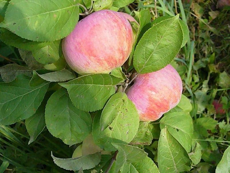"""Плоды яблони """"Скрыжапель"""" на фото"""