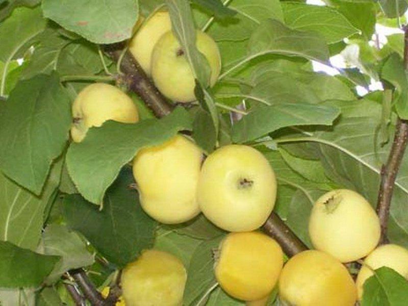 """Плоды яблони """"Борсдорф-китайка"""" на фото"""