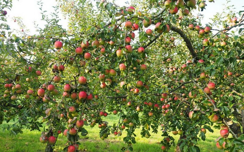 Лучшие зимние сорта яблонь для Подмосковья и средней полосы России: фото и описание