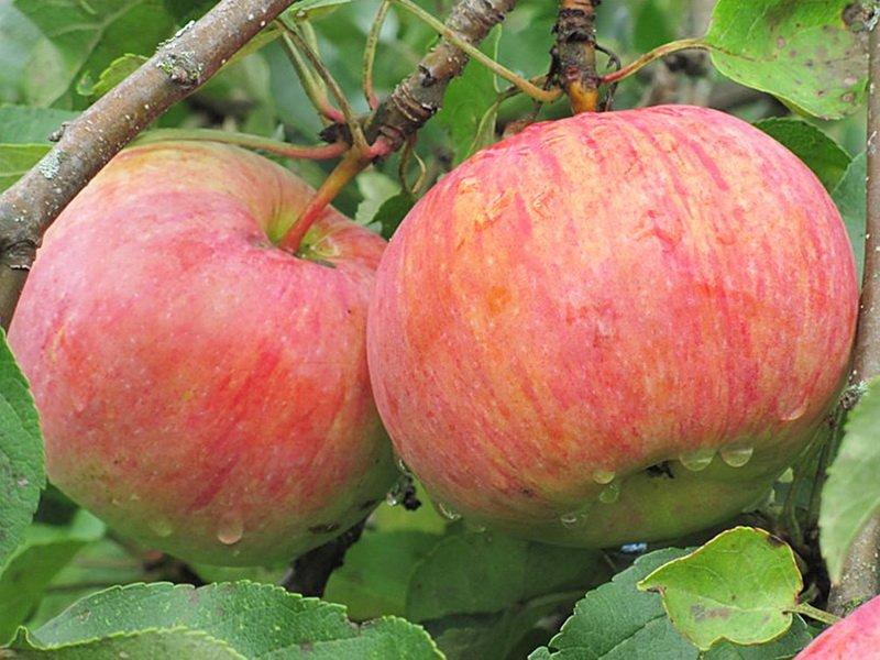 """Плоды яблони """"Зимний десерт"""" на фото"""