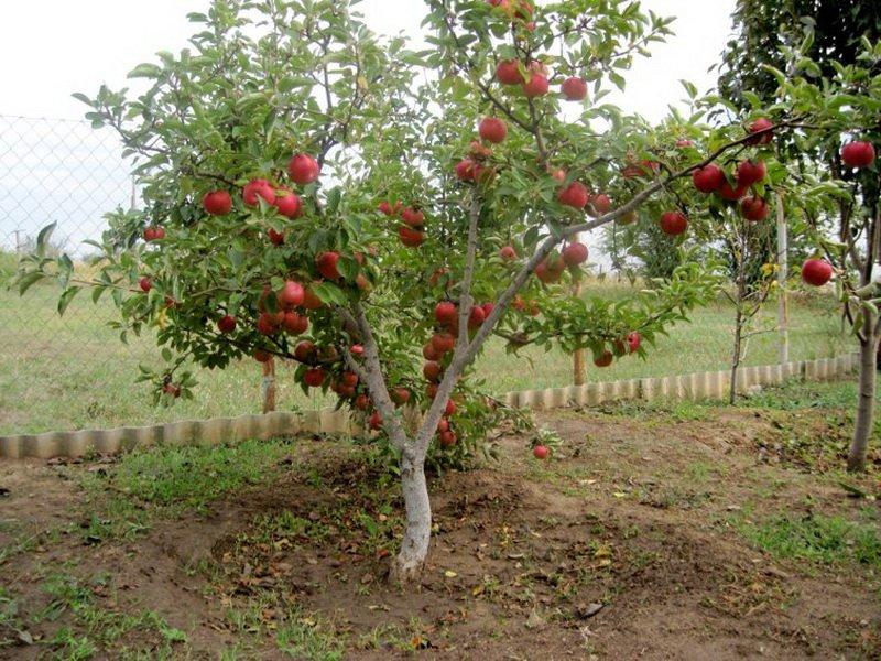 """Яблоня сорт """"Анис алый"""" на фото"""