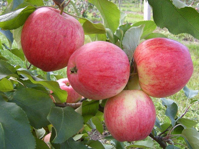 """Яблоко сорта """"Анис серый"""" на фото"""
