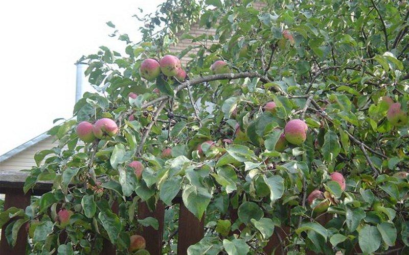 Лучшие осенние сорта яблонь для Подмосковья и средней полосы (с фото)