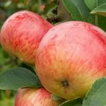 Яблоня Народное описание сорта характеристики и выращивание с фото