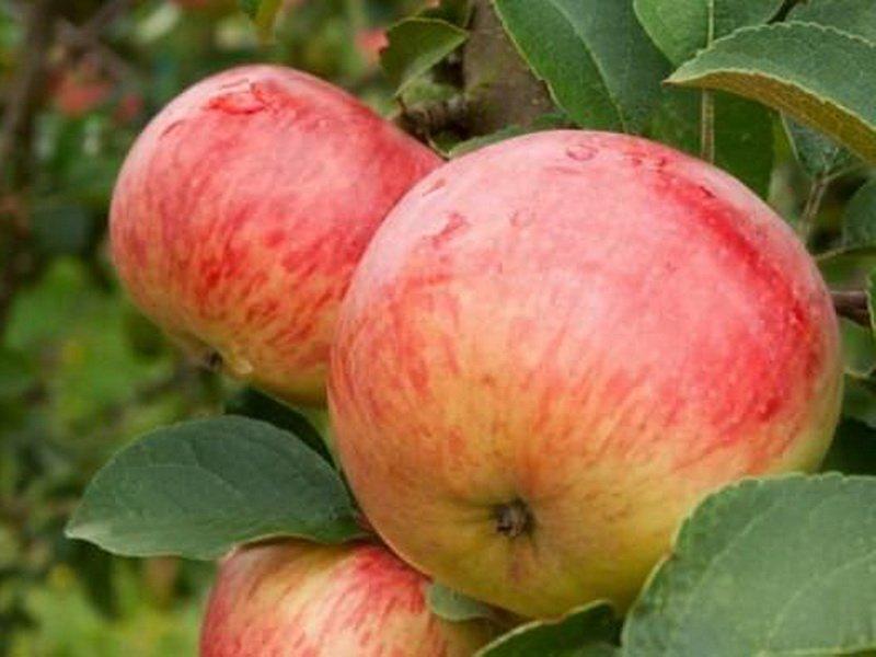 """Плоды яблони """"Боровинка"""" на фото"""