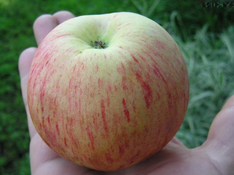 Плод округлый или  плоско-округлые, гладкие или со слабой ребристостью (фото)