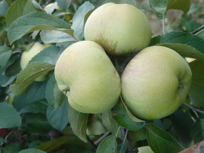 "Плоды яблони ""Скрут белый"" на фото"