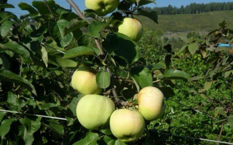 Самые урожайные осенние сорта яблонь: описание с фотографиями