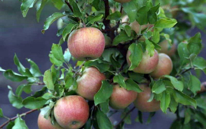 Самые урожайные осенние сорта яблонь: описание с фотографиями фото