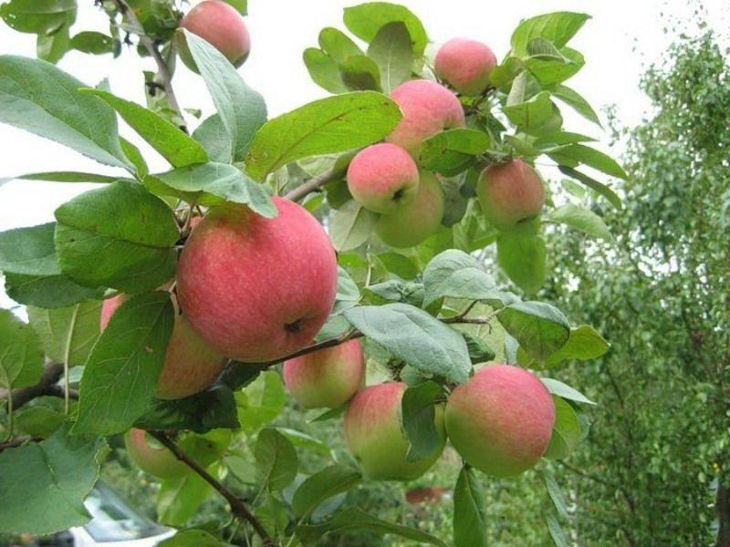 """Сорт яблони """"Бельфлер-китайка"""" на фото"""
