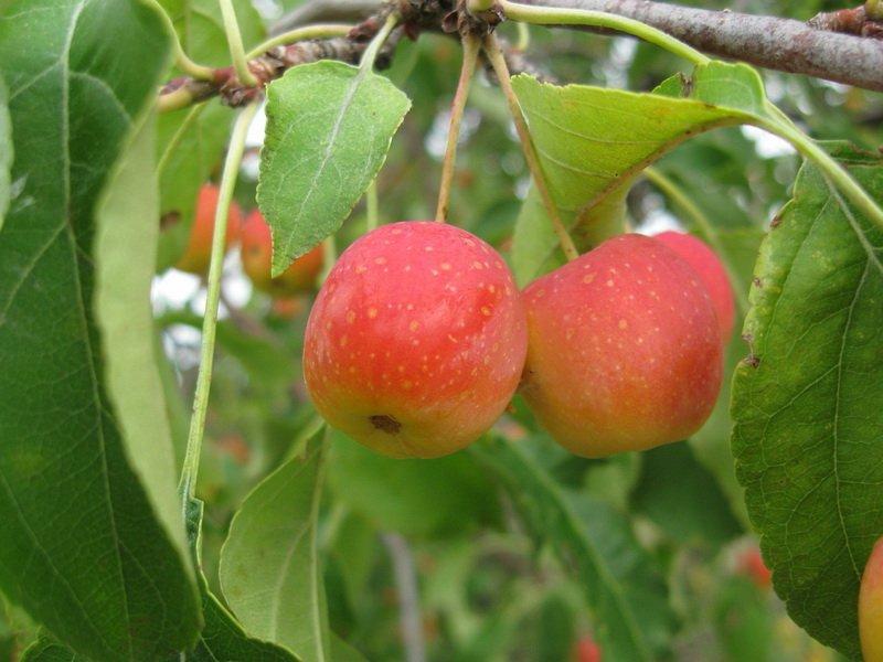 """Плоды яблони """"Китайка волжская"""" на фото"""