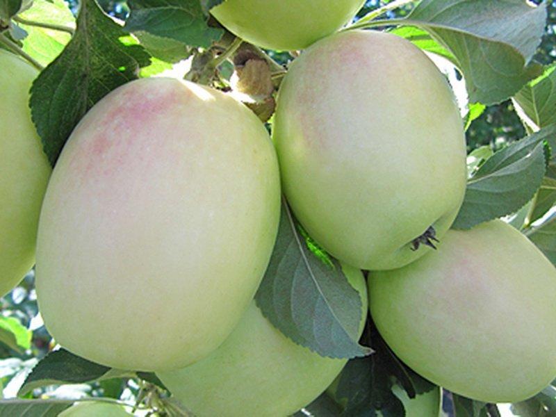 """Плоды яблони """"Розмарин русский"""" на фото"""