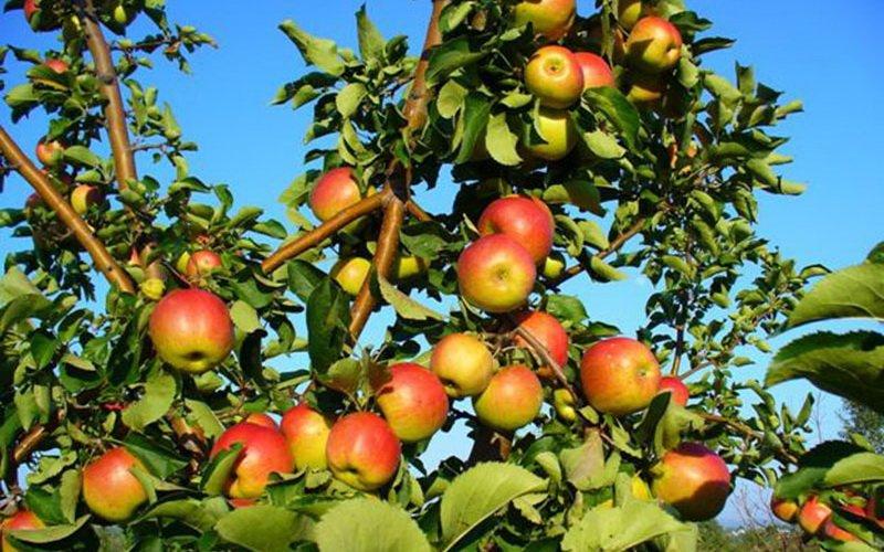 Какие хорошие сорта осенних яблонь лучше сажать в Подмосковье