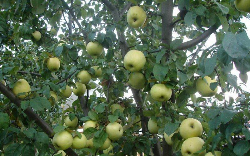 Лучшие зимние сорта яблонь для Подмосковья и средней полосы России: фото и описание фото