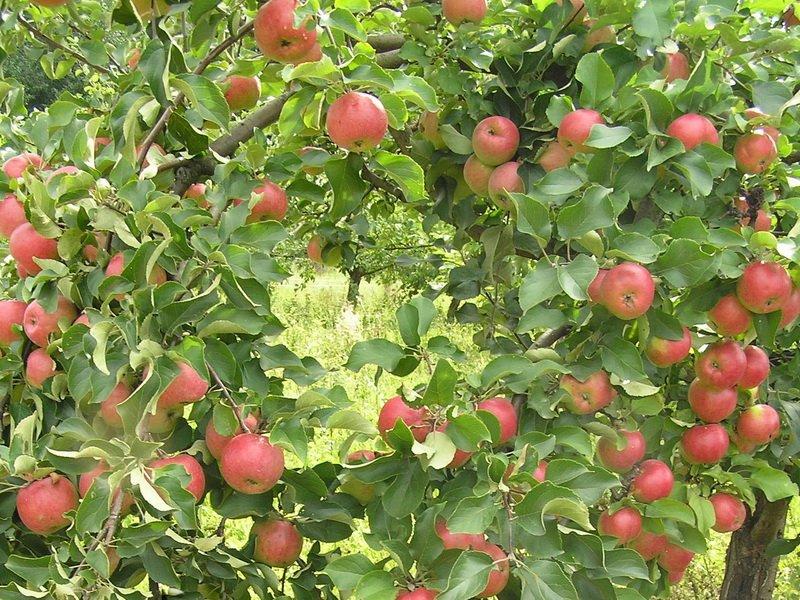 """Дерево яблони  """"Жигулевское""""сильнорослое, зимостойкое и урожайнее (фото)"""