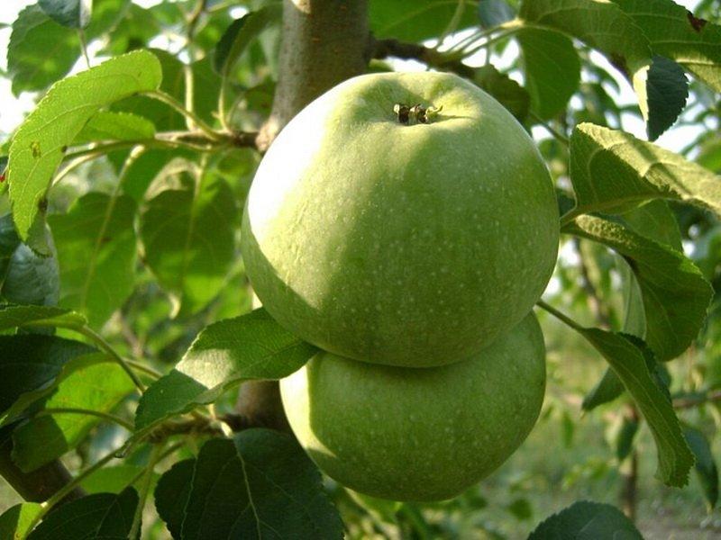 """Плоды яблони """"Кутузовец"""" на фото"""