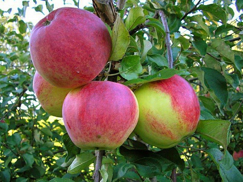 """Плоды яблони """"Волжский шафран"""" на фото"""