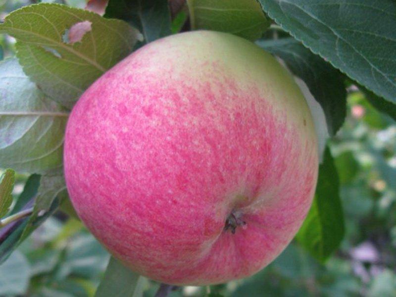 """Плод яблони """"Грушовка московская"""" на фото"""