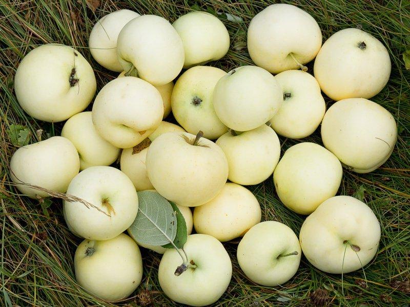 """Плоды яблони """"Налив белый"""" на фото"""