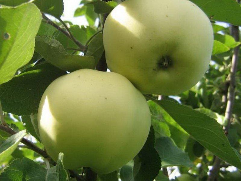 """Плоды яблони """"Алебастровое"""" на фото"""