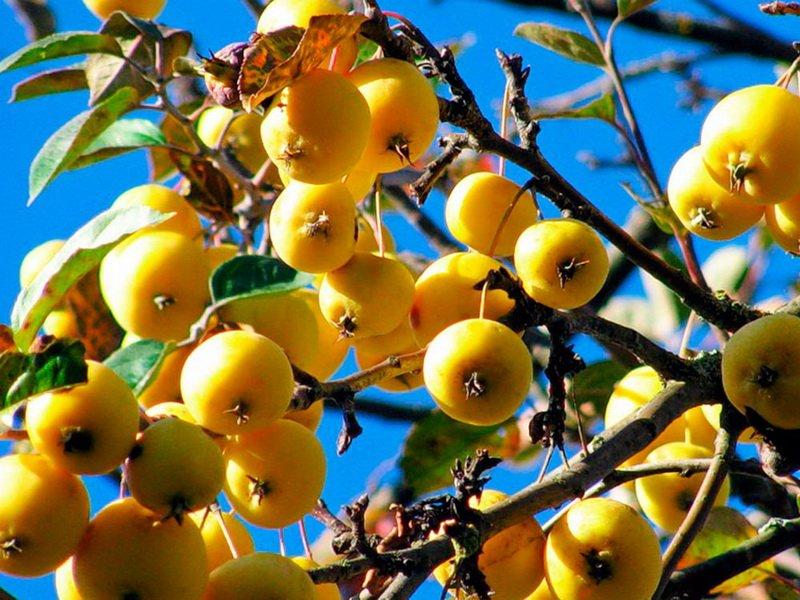 """Яблоня сорт """"Китайка золотая ранняя"""" на фото"""