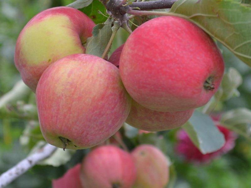 """Плоды яблони """"Репка Копылова"""" на фото"""