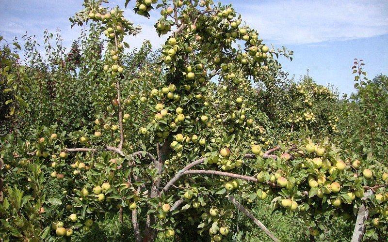 Какие ещё сорта летних яблонь можно посадить на участке