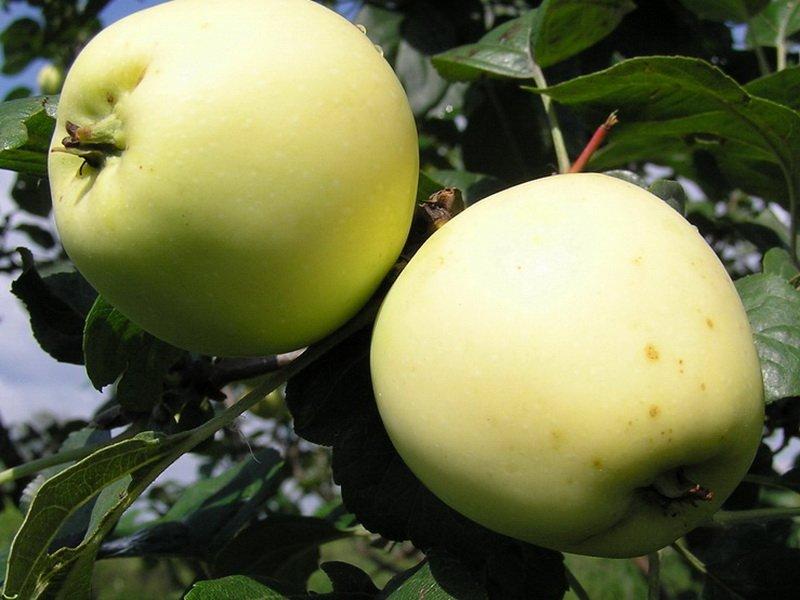 "Плоды яблони ""Аркад сахарный"" на фото"