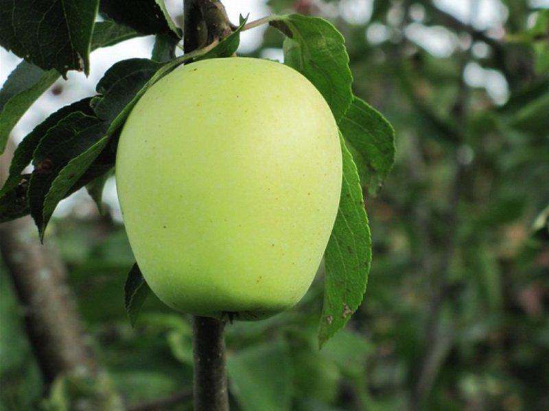 Плоды округло-конические или округло-цилиндрические на фото