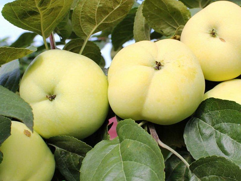 """Плоды яблони """"Дочь Папировки"""" на фото"""