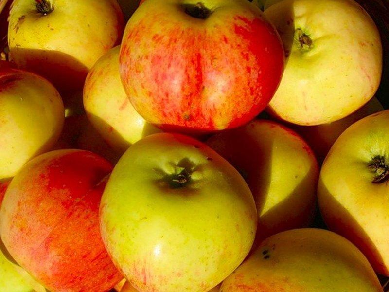 """Плод яблони  """"Антоновка-каменичка"""" на фото"""