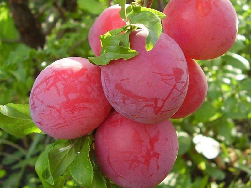 "Плоды сливы ""Скороспелка красная"" на фото"