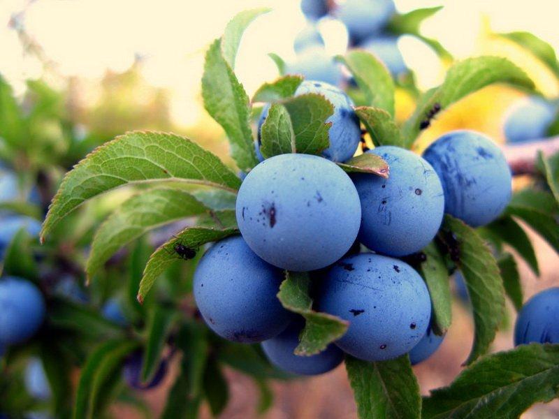 "Плоды сливы ""Терн садовый (Терн цареградский, Терн № 2) на фото"