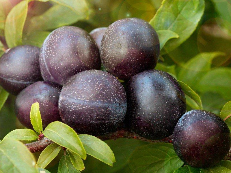 Плоды сливы «Тернослива ранняя (№ 2) на фото
