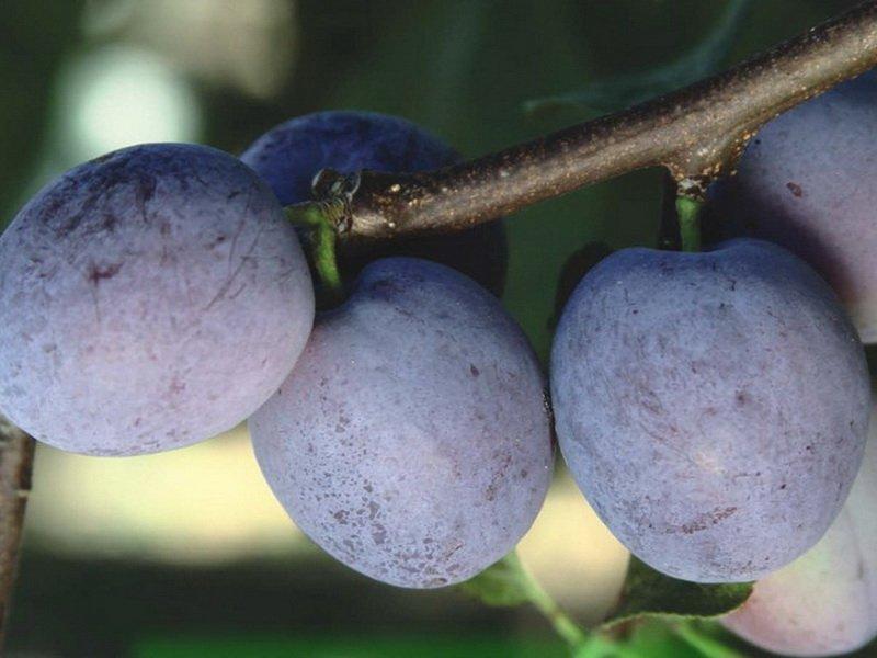 Плоды округлые, слегка сплюснутые, темно-синие (фото)
