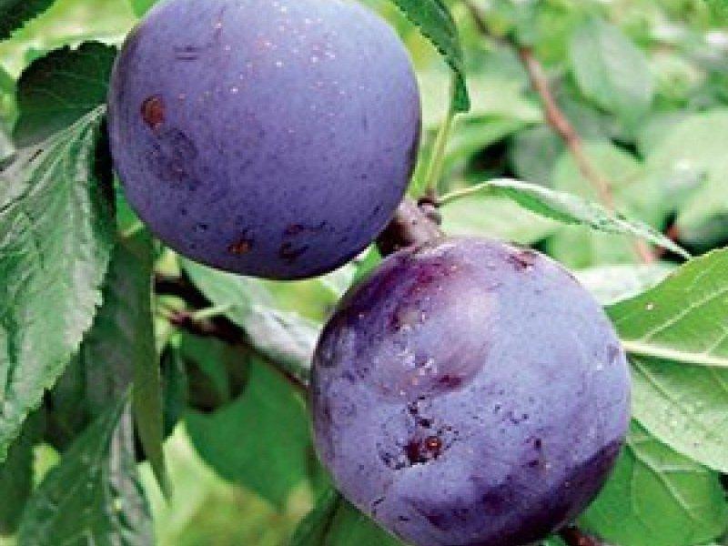 Плоды средние, округлые, черно-фиолетовые, с плотной мякотью (фото)