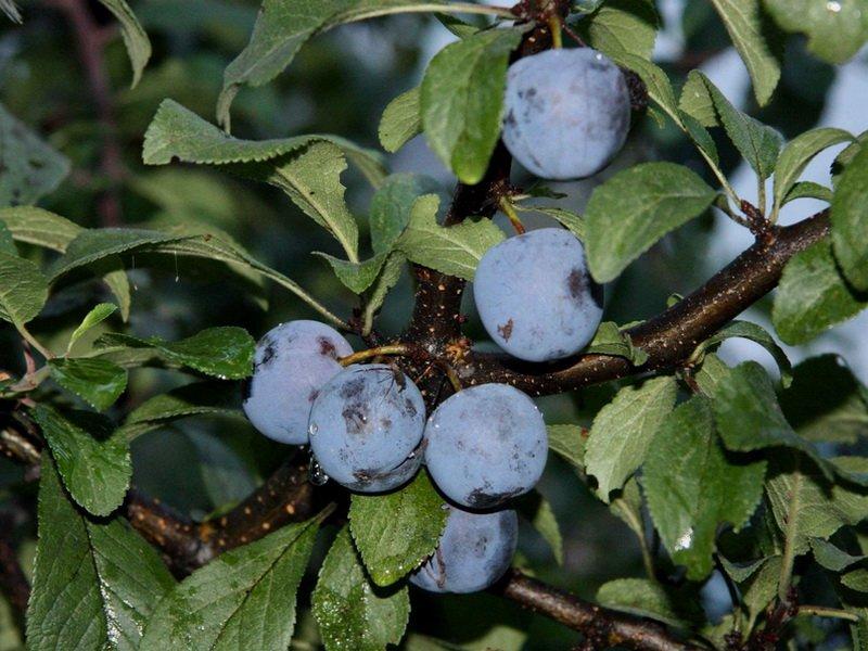 """Плоды сливы «Смуглянка"""" на фото"""