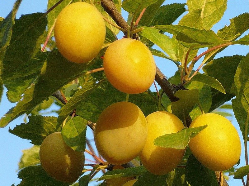 "Плоды сливы «Ударница"" на фото"