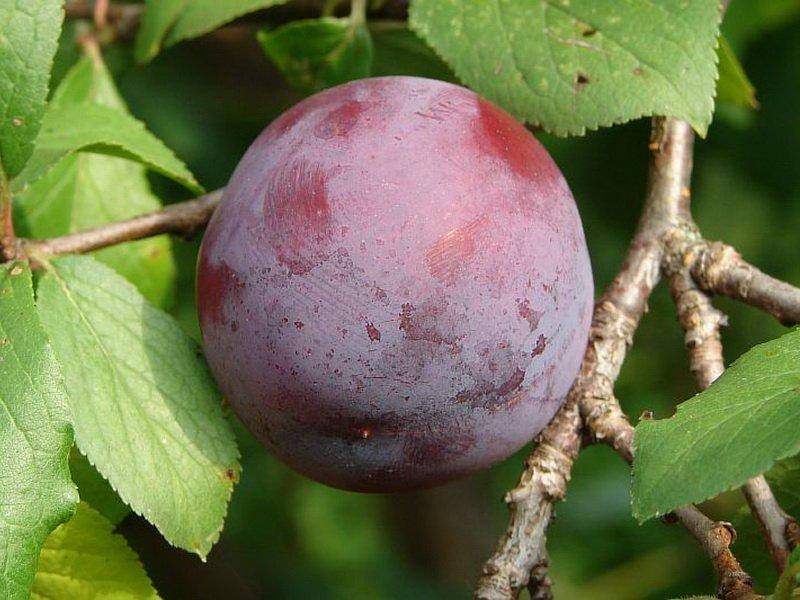 Плоды темно-фиолетовые, с густым восковым налетом (фото)