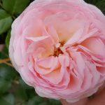 Шиповник садовый морщинистый фото и описание сортов