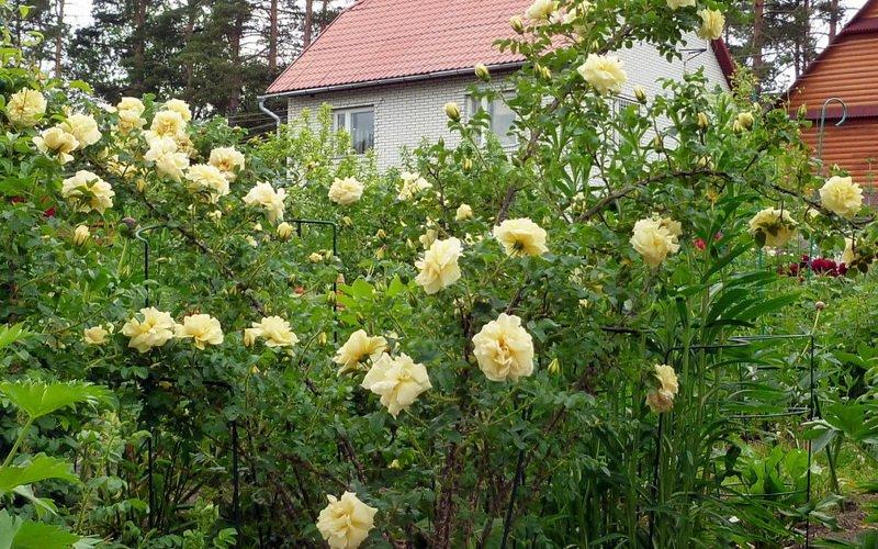 Какие есть лучшие виды и сорта парковых роз: фото и описание