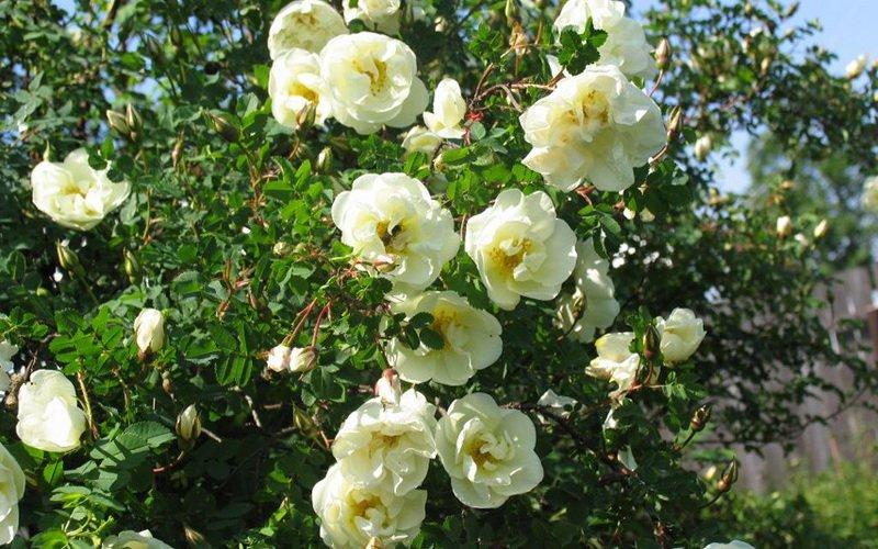 Какие есть лучшие виды и сорта парковых роз: фото и описание фото
