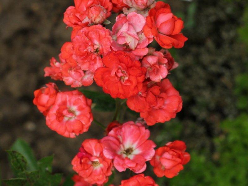 Сорт полиантовых роз «Глория Мунди» на фото