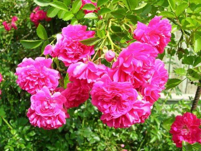 Сорт полиантовых роз «Мари Бауман» на фото
