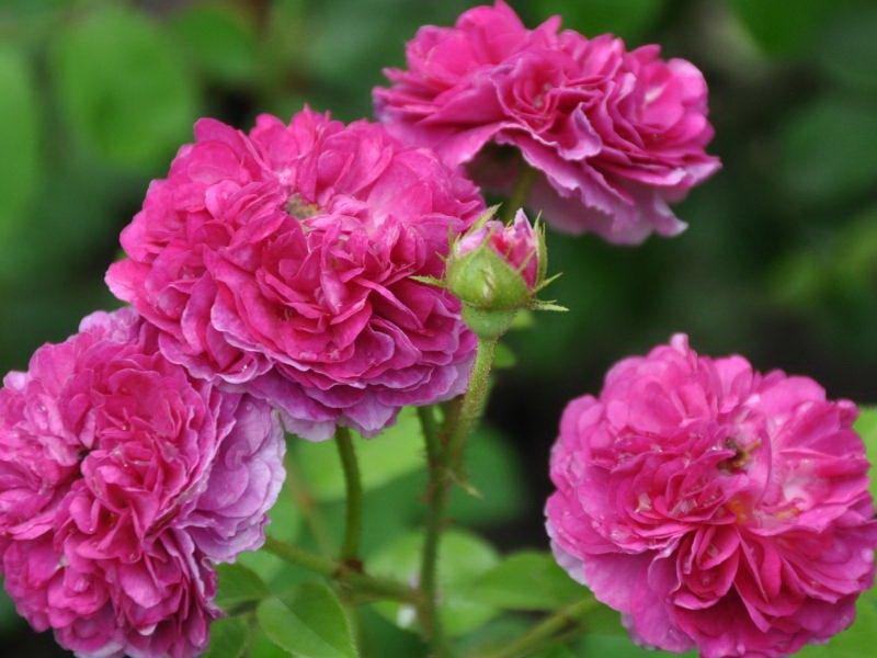Цветки карминово-красные, крупные, махровые, шаровидные (фото)