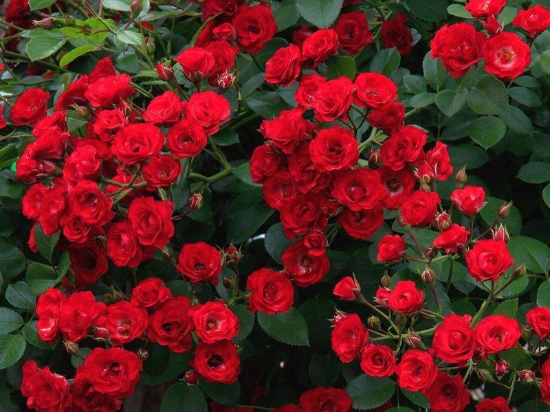 Сорт полиантовых роз «Альфред Коломб» на фото